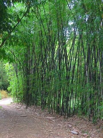 Black Bamboo Privacy Screen Black Bamboo Black Bamboo Plant Bamboo Plants