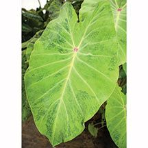 #Tall plants Colocasia Esculenta Midori Sour is 4-6 feet of bright chartreuse-green leaves with variable marbled with dark green highlighted by a pink dot.| mzbulb.com