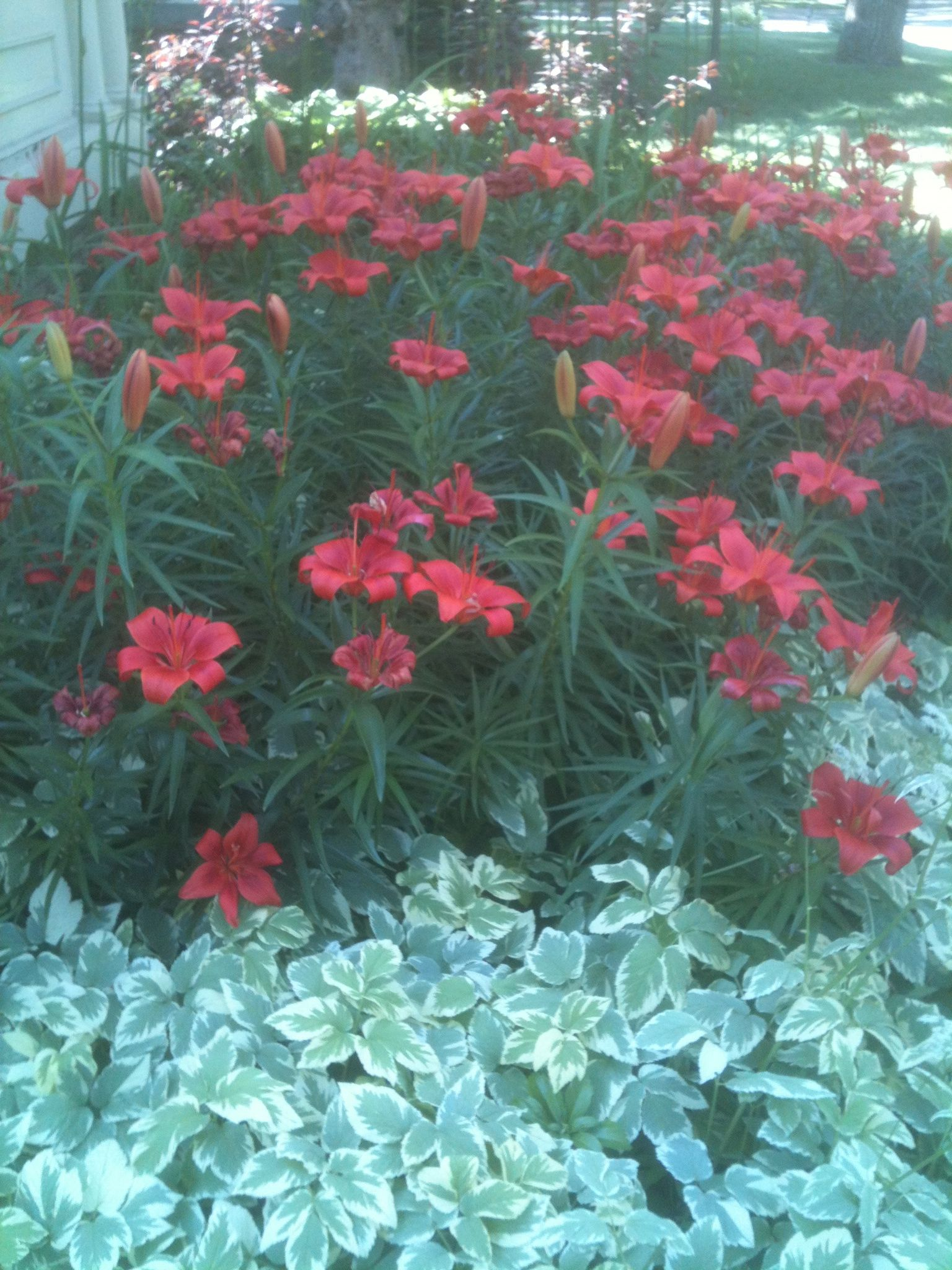 Red lilies and ground cover Landscaping ideas Pinterest Red