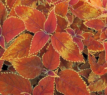 Coleus Rustic Orange  I think this is what I planted in my yellow and orange pots...