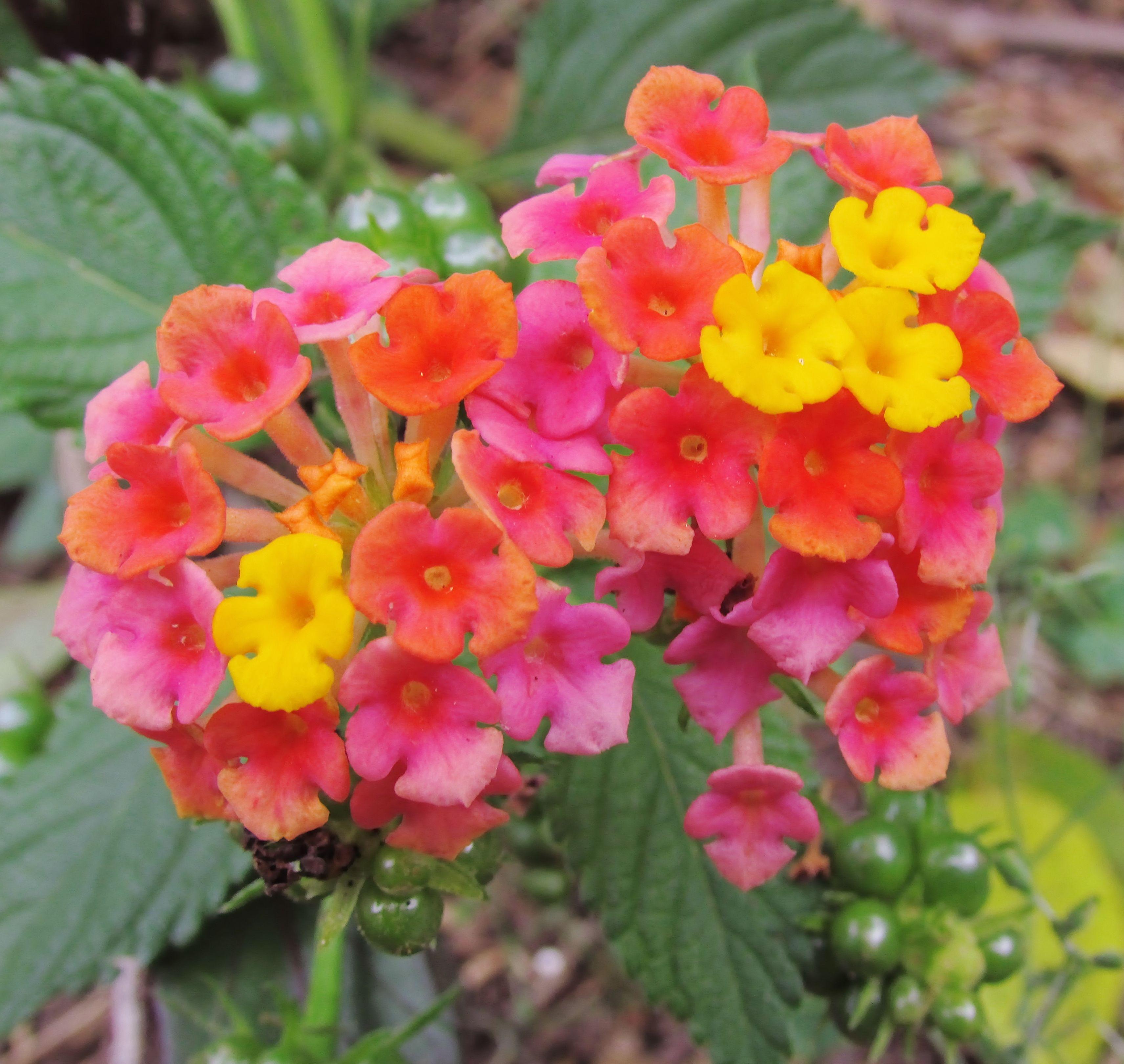 Lantana Many Varieties Florida Flowers Lantana Flowers
