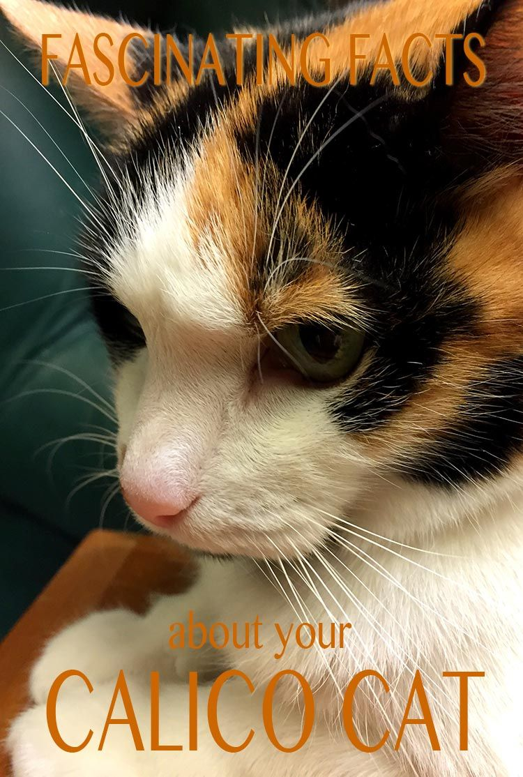 Are All Calico Cats Female? The Gender and Color Link In