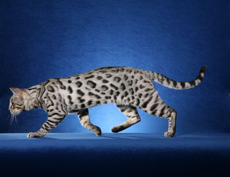 Bengal Cat Wallpapers - Wallpaper Cave | art | Pinterest | Cat ...