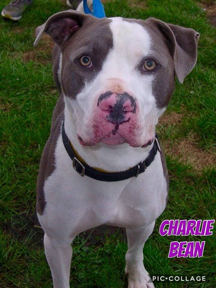 Adopt Charlie Bean On Puppies Dogs Dog Leash