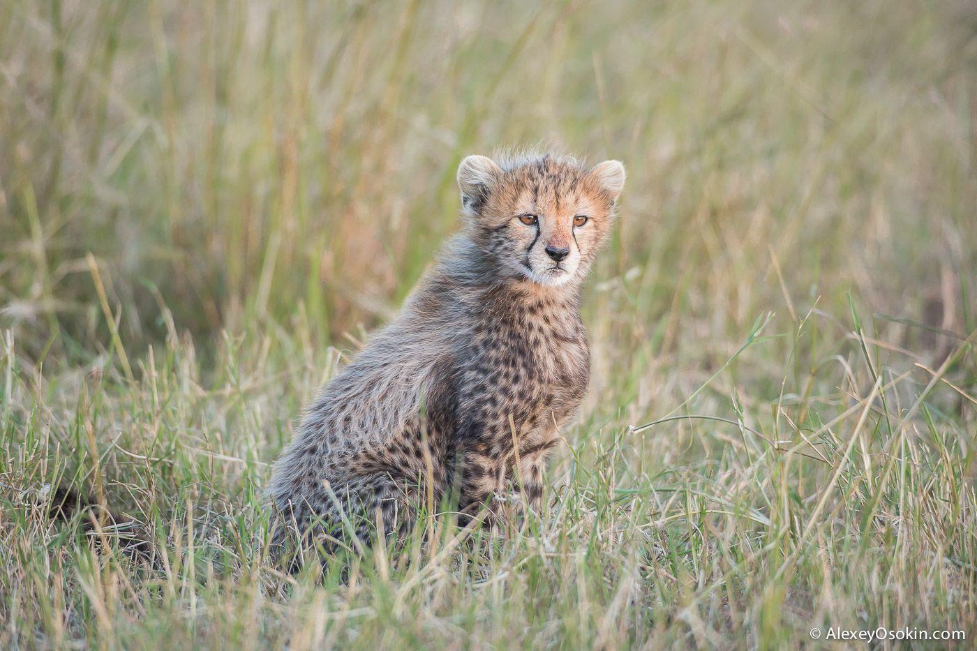 cheetahs 28