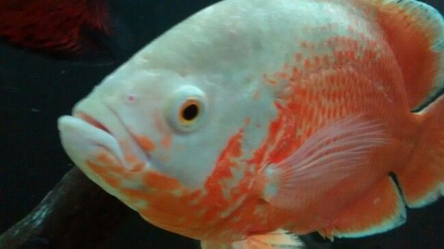 Albino Red Ruby Oscar Fish Pinterest Albino