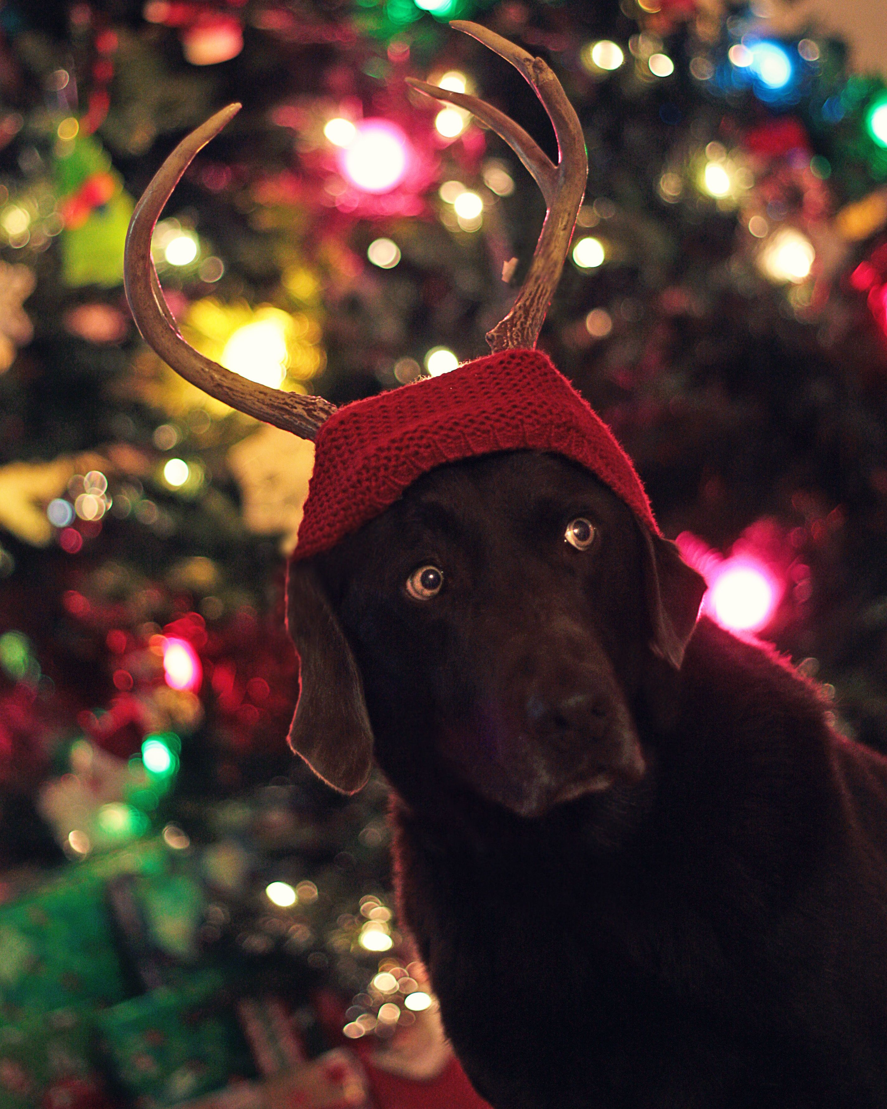 Merry Christmas from Bear the dog!