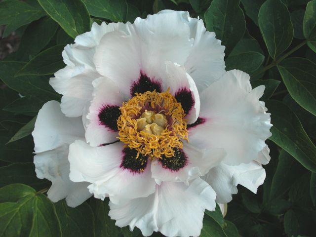 Growing Peonies In Usda Zones 8 And 9 Growing Peonies Peonies Garden Planting Peonies