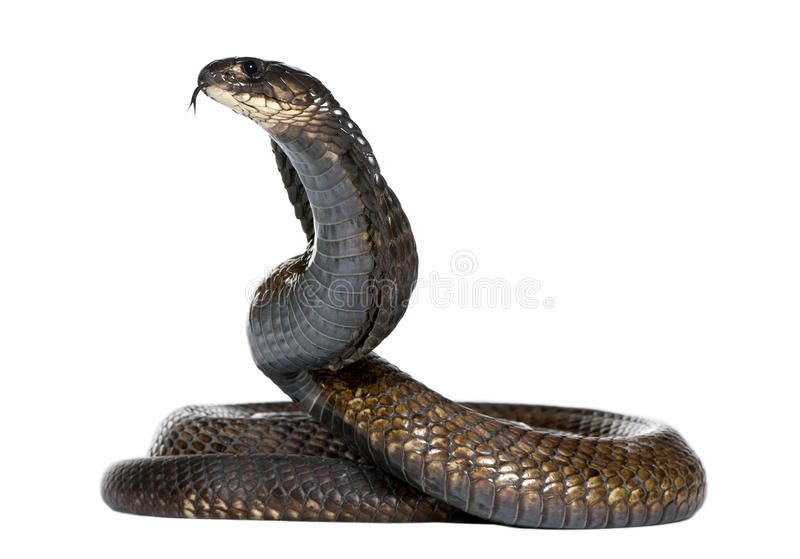 Egyptian Cobra Naja Haje In Front Of A White Background Spon Naja Cobra Egyptian Haje Background Ad Snake Black Mamba Snake Png Images