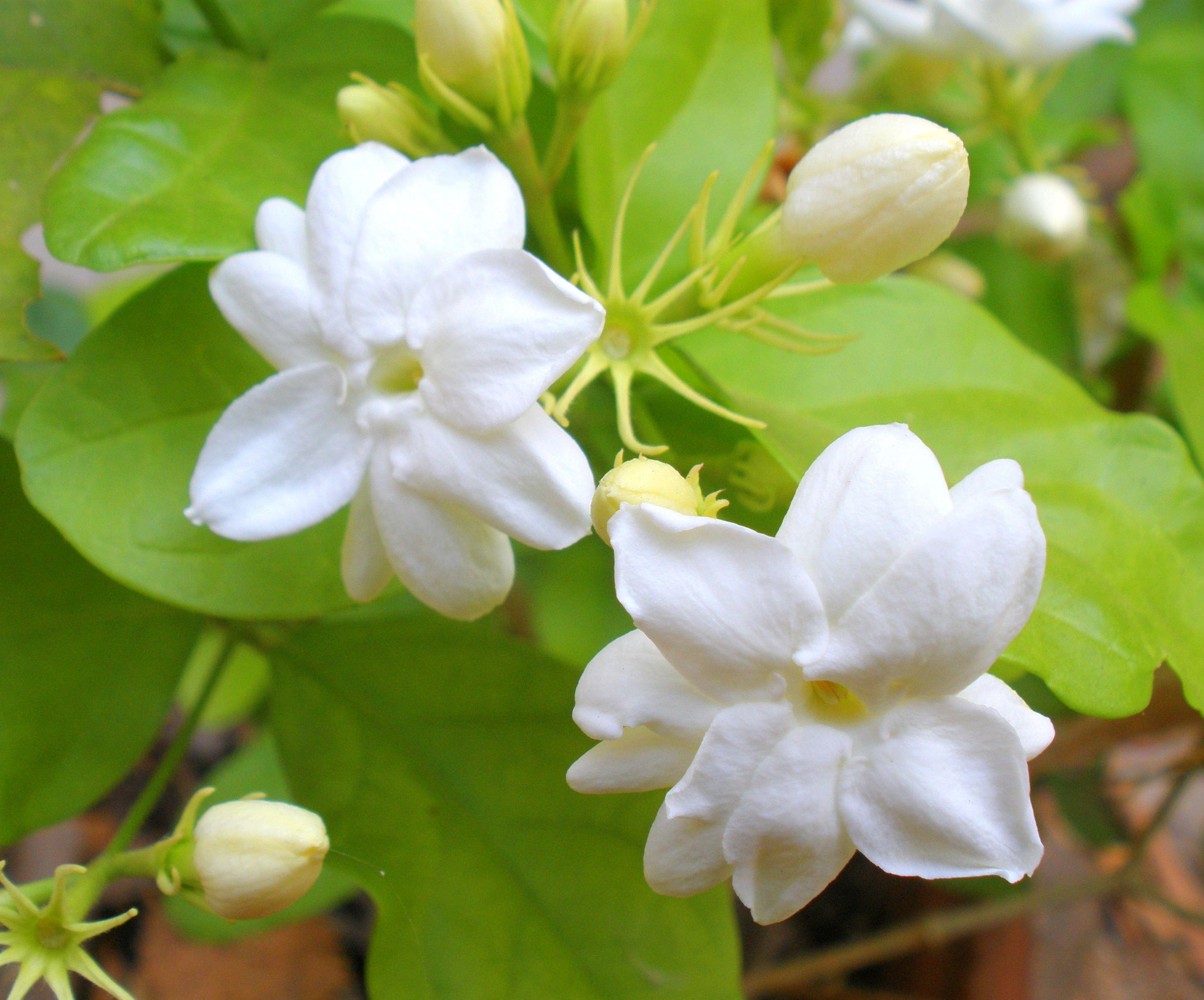 Arabian Jasmine Blossoms Garden Pinterest Flowers Jasmine