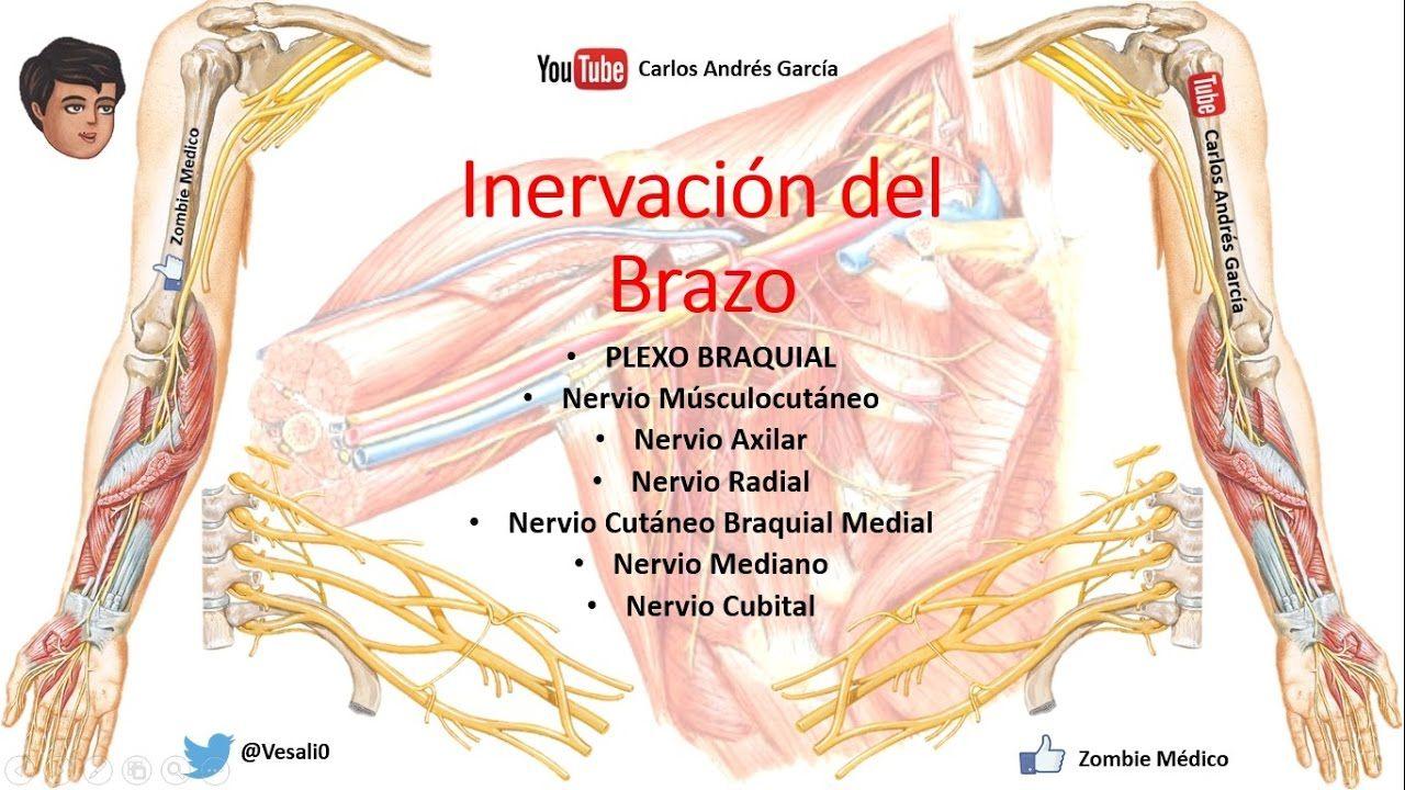 Anatomía - Inervación del Miembro Superior (PLEXO BRAQUIAL COMPLETO ...