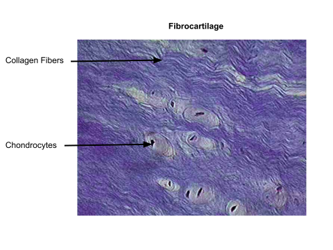 fibrocartilage labeled - Google Search | Tissues | Anatomy ...