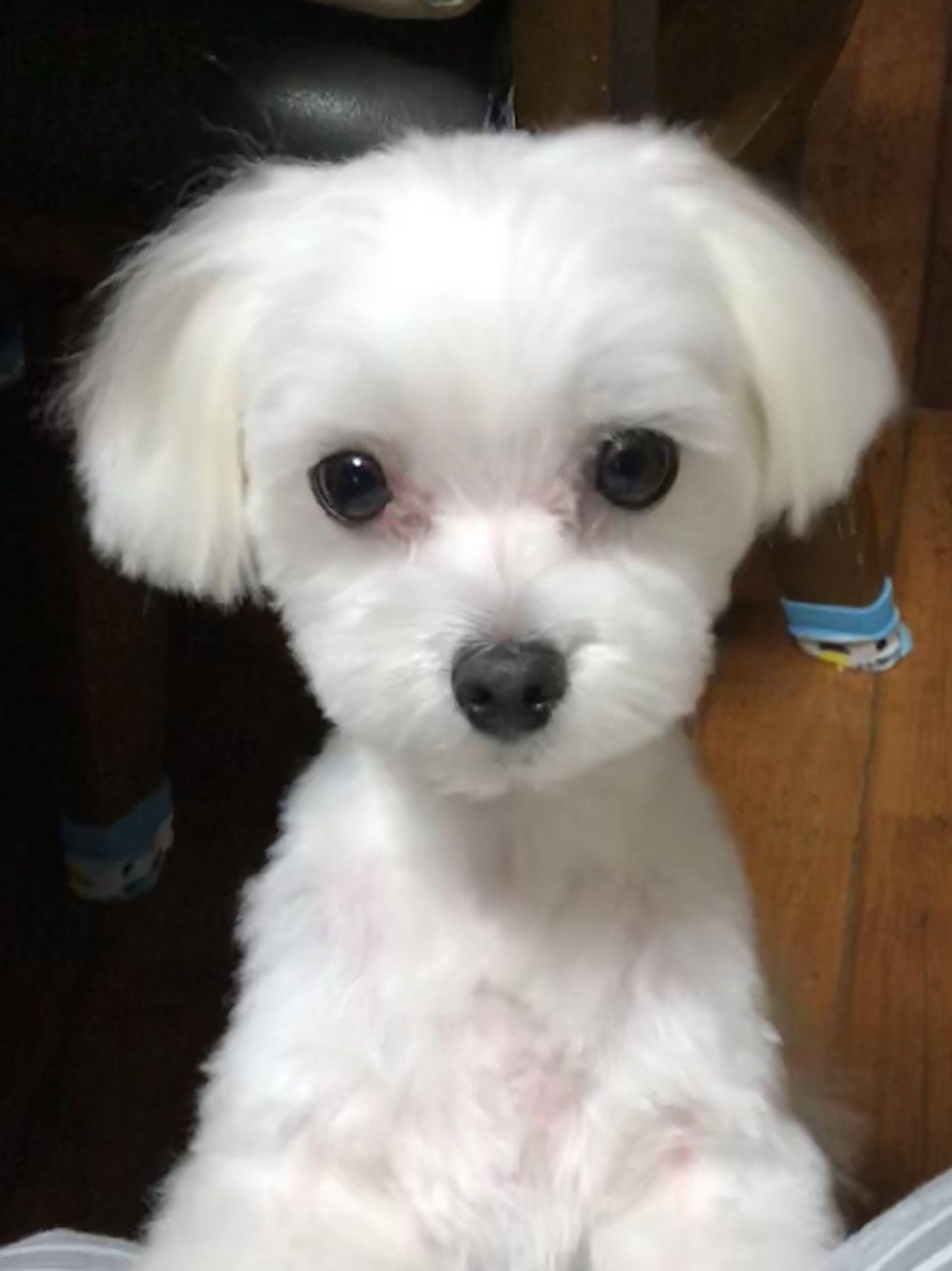 お耳短くカット Allen Teacup Puppies Maltese Puppy Shower Cute Dogs