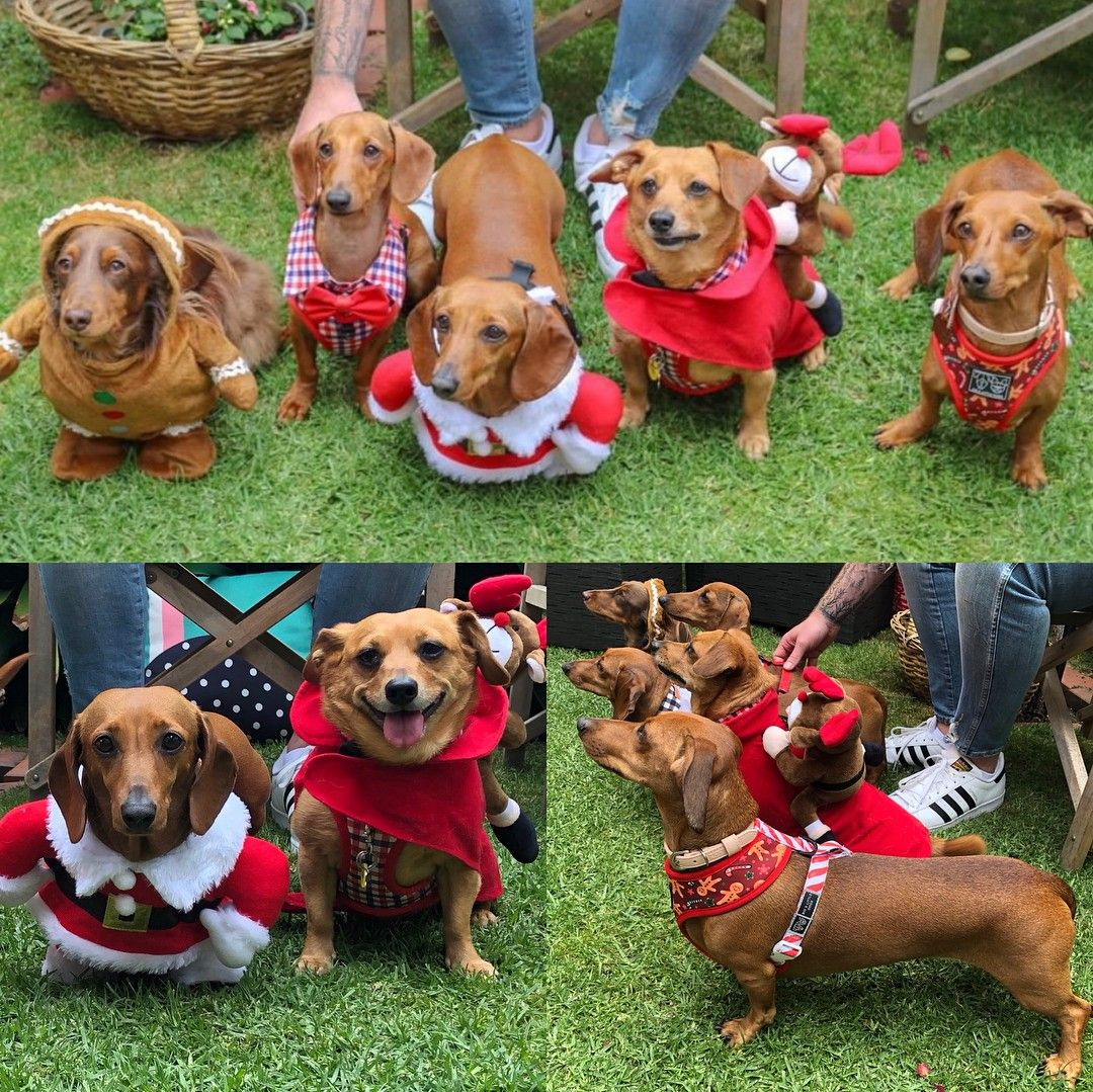 Pin By The Wooden Frog On Christmas Dachshund Dachshund