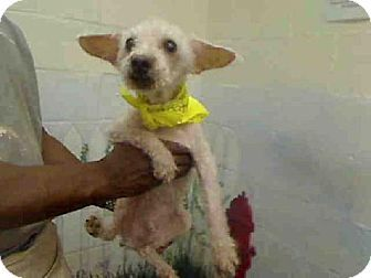 Georgia Urgent Burt Id A453953 Is A Senior Poodle Mix Dog In