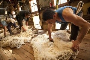 Sheep Shearing Blade Method Of Shearing Lake Heron
