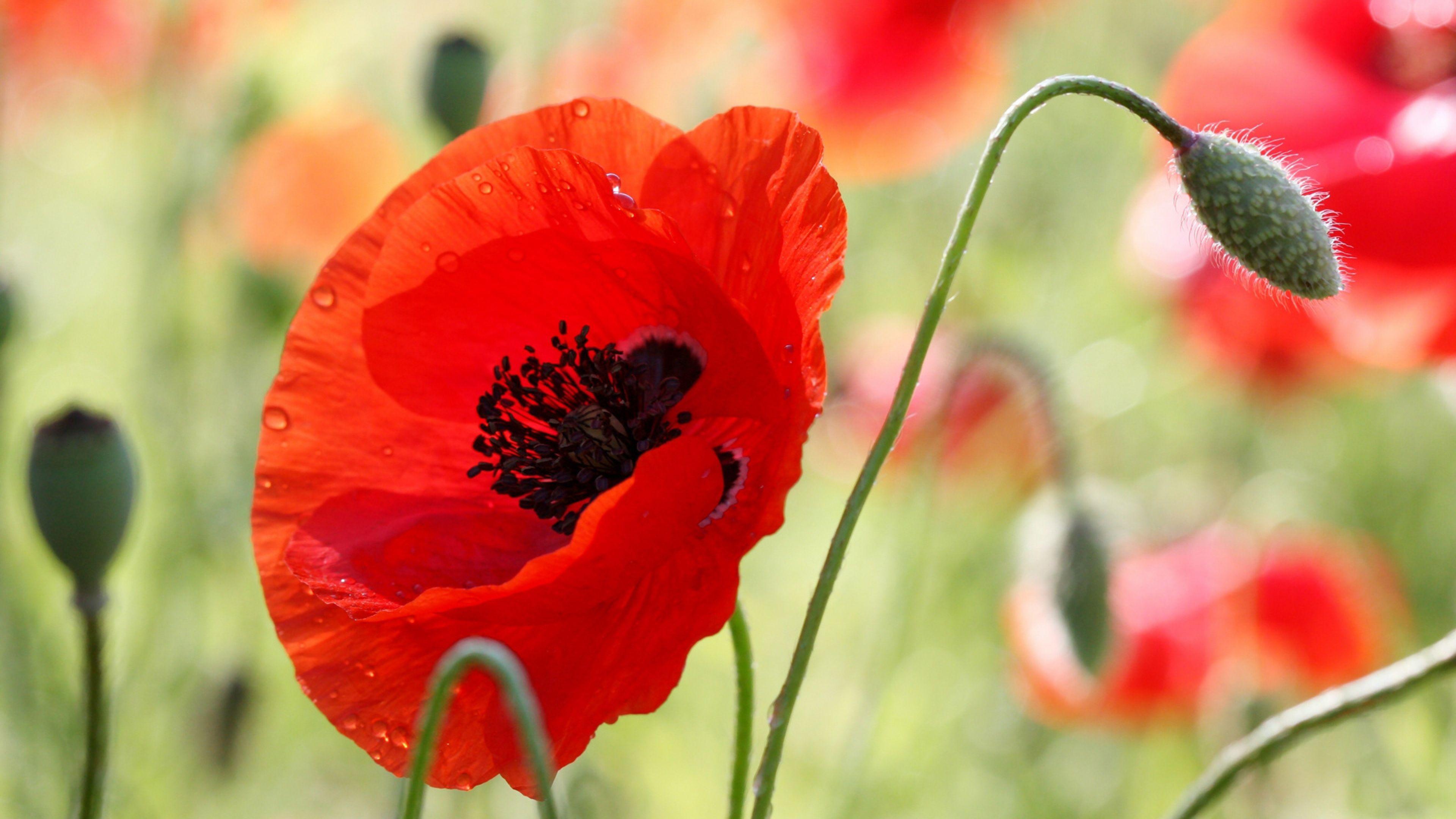 Download Wallpaper 3840x2160 Poppy Flower Bud Stamens Field