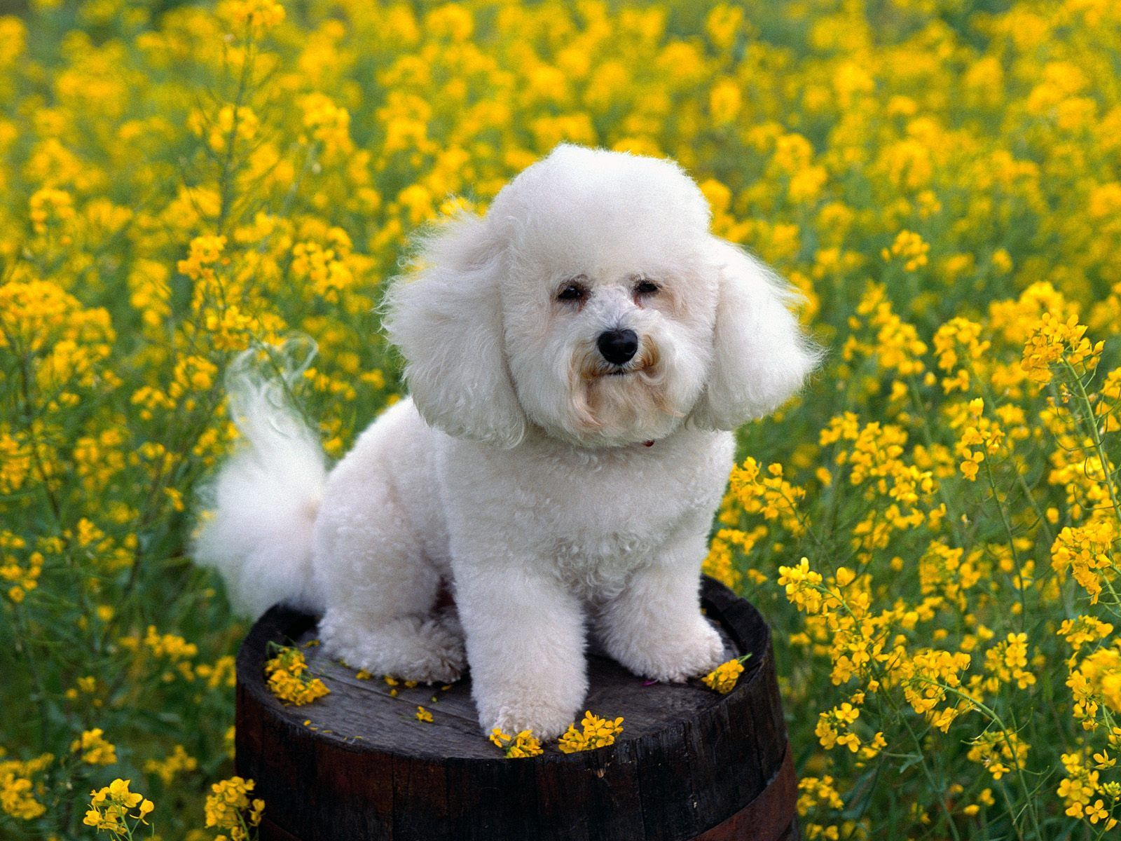 Free Desktop Wallpapers Of Small White Dog In Flowers Free Wallpaper Pet Category Wallpaper Bichon Frise Dogs Bichon Frise Puppy Cute Baby Dogs