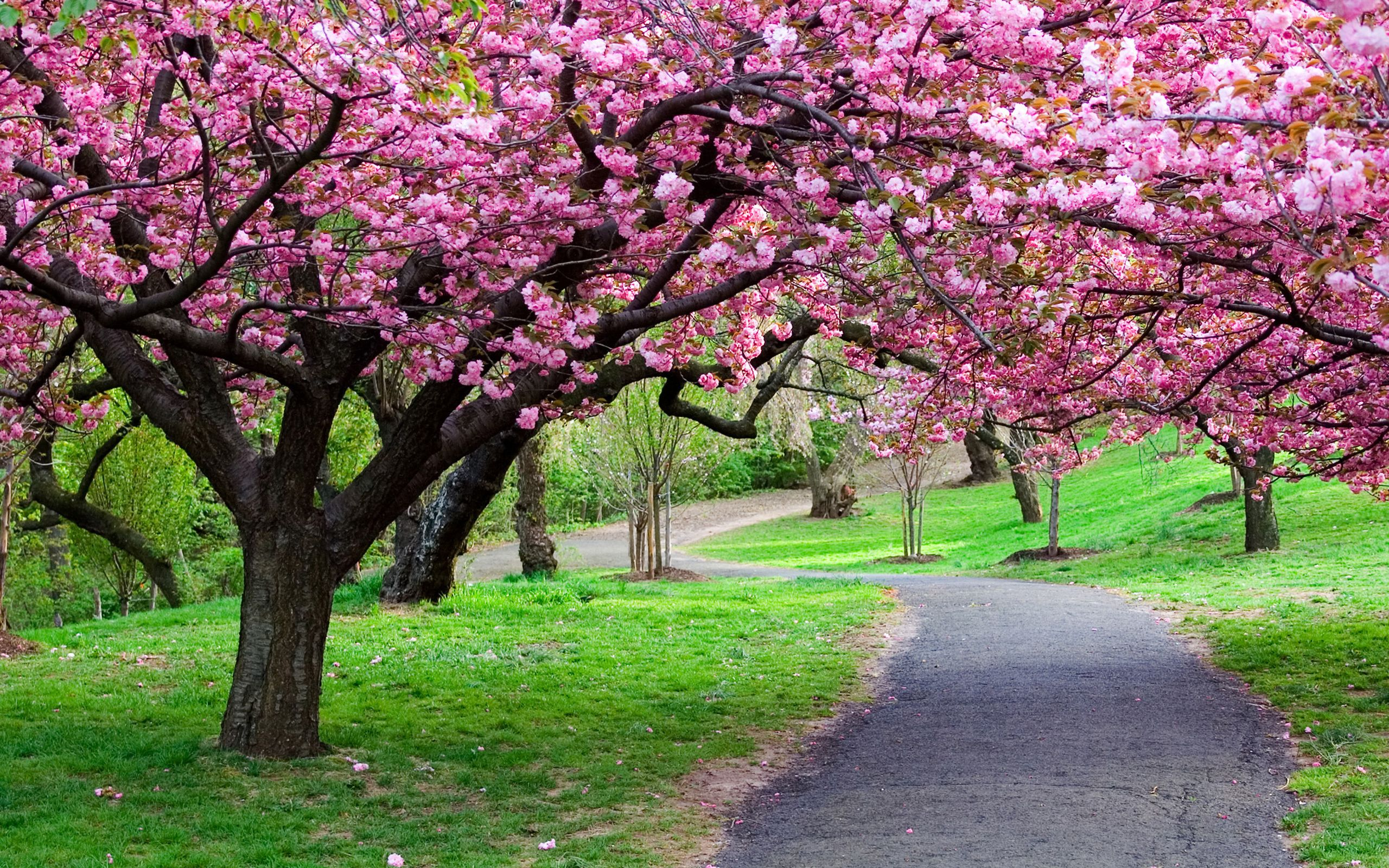 Flower Cherry Blossoms Flowers Spring Nature Kwiaty Wini Wallpaper And Backgrounds Cherry Blossom Flowers Cherry Blossom Wallpaper Flowers