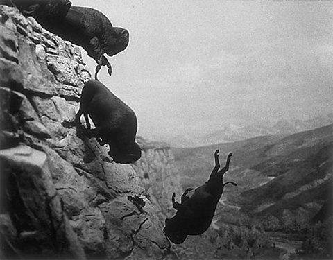 falling bison