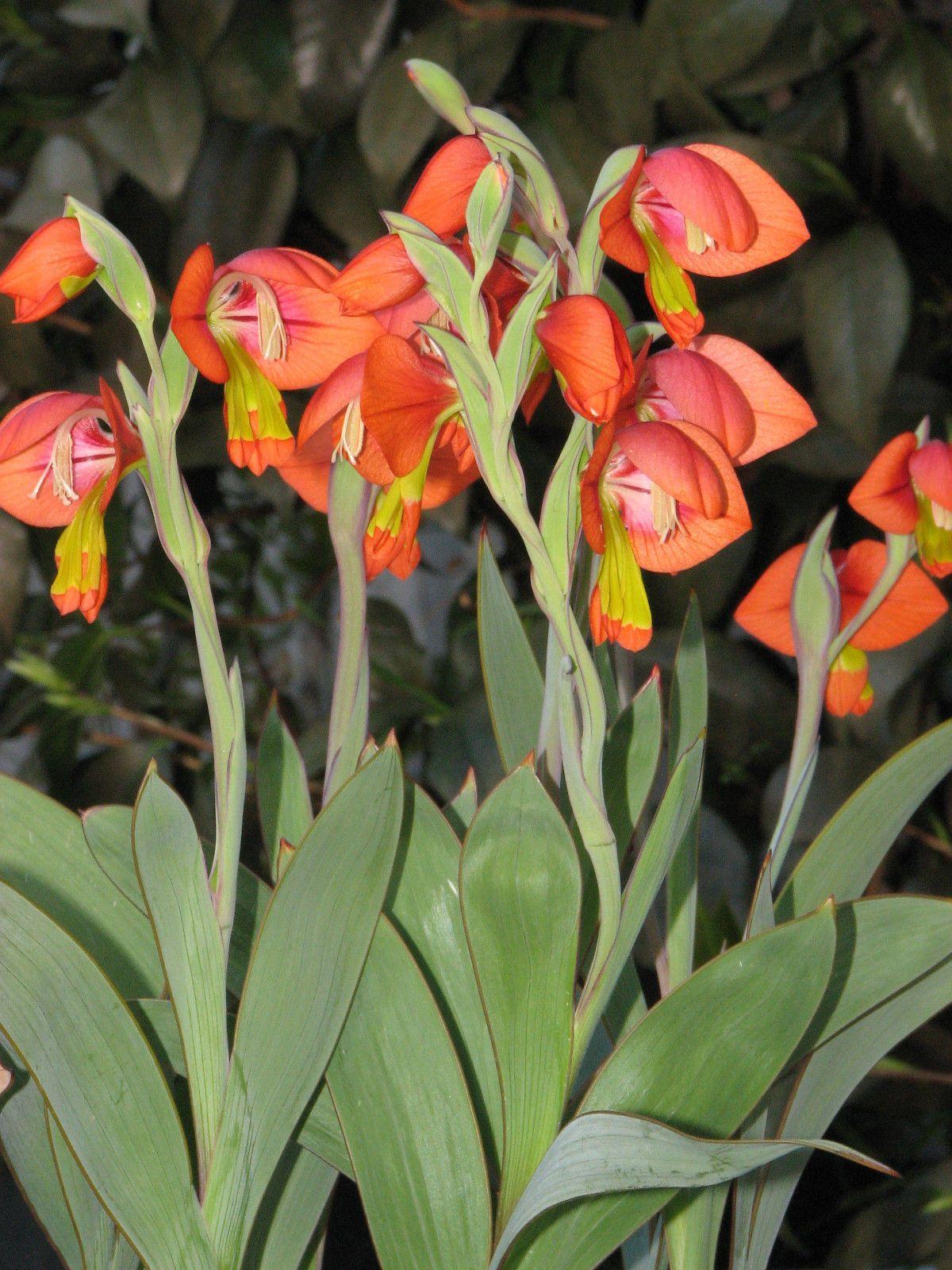 Gladiolus Equitans Kamieskroon FS Near Corm eBay