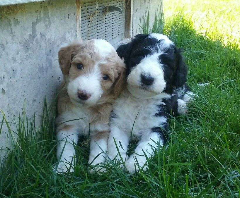 The Bordoodle Is Quickly Becoming One Of The Most Sought After Pets The Intelligence Of The Border Collie When Cro Dog Breeds Pictures Bordoodle Cute Animals