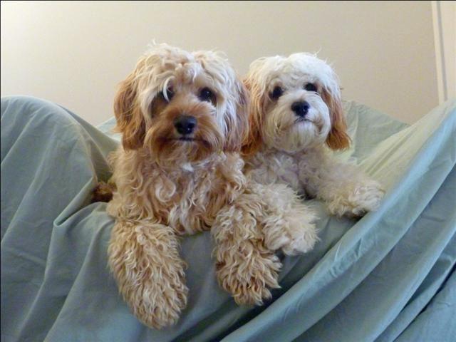 Omega Park Kennels Poodle Mix Dogs Poodle Mix Cute Animals