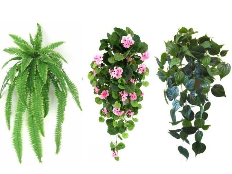 Pin On Ivy Plants