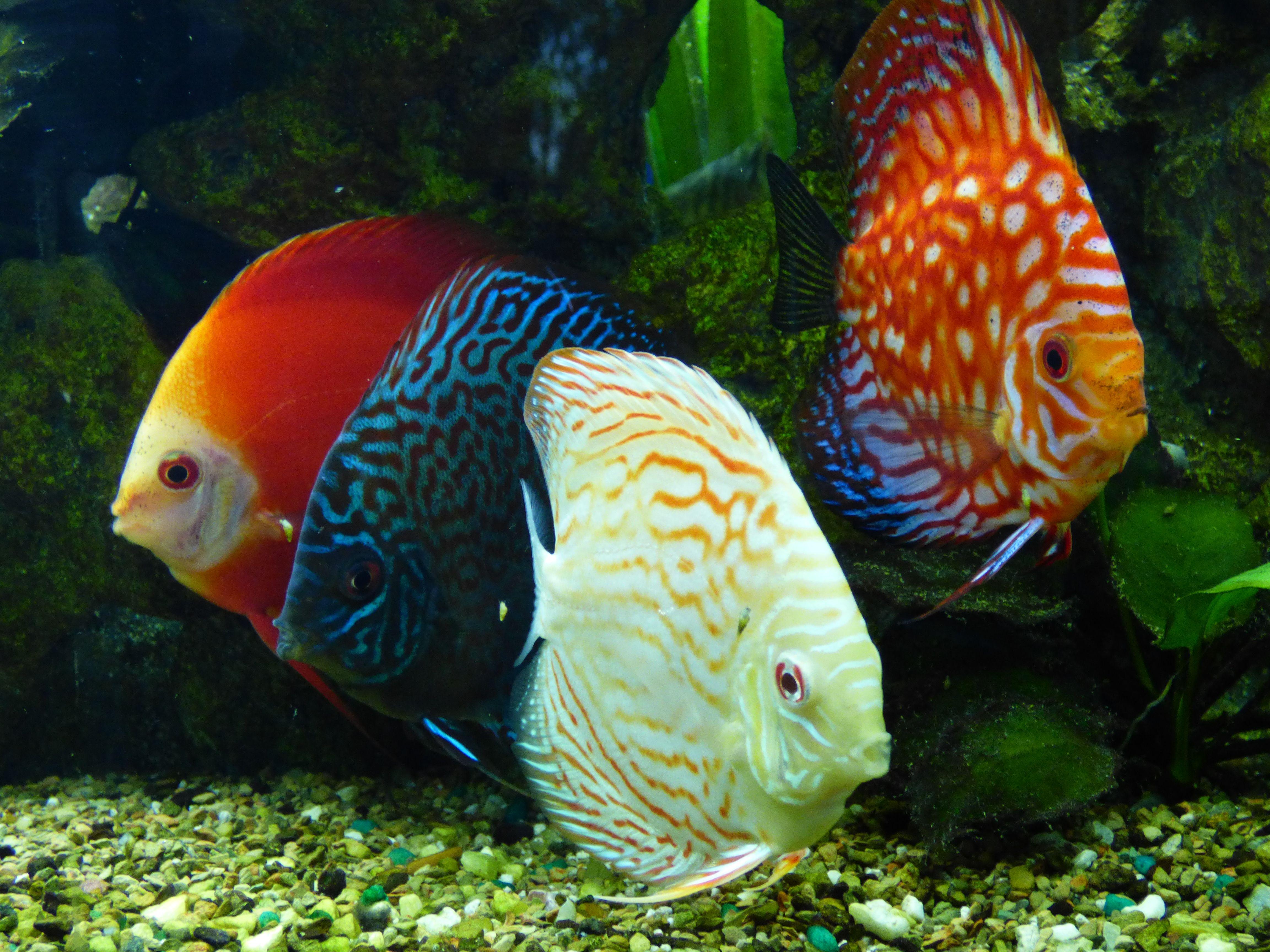 Discus Fishes Tropical Fish Aquarium Discus Fish Fish Tank Plants