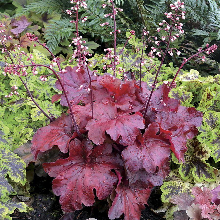Fire Alarm Coral Bells (Heuchera Fire Alarm) | gardening ...