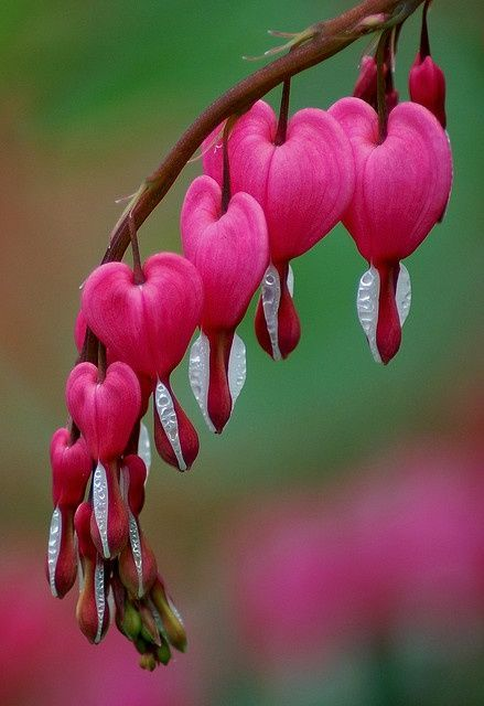 Pink Bleeding Heart Flowers Dicentra Spectibalis A Plant That Returns Year After Year In My Garden Bleeding Heart Flower Unusual Flowers Beautiful Flowers