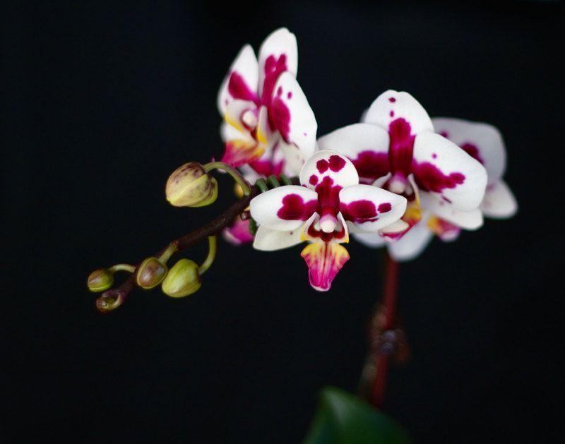 Minimalist Pink Orchid Flowers On Black Background Orchid Flower Orchids Orchid Photo