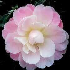 camellia - Google Search Camellia 'Magic Mum'