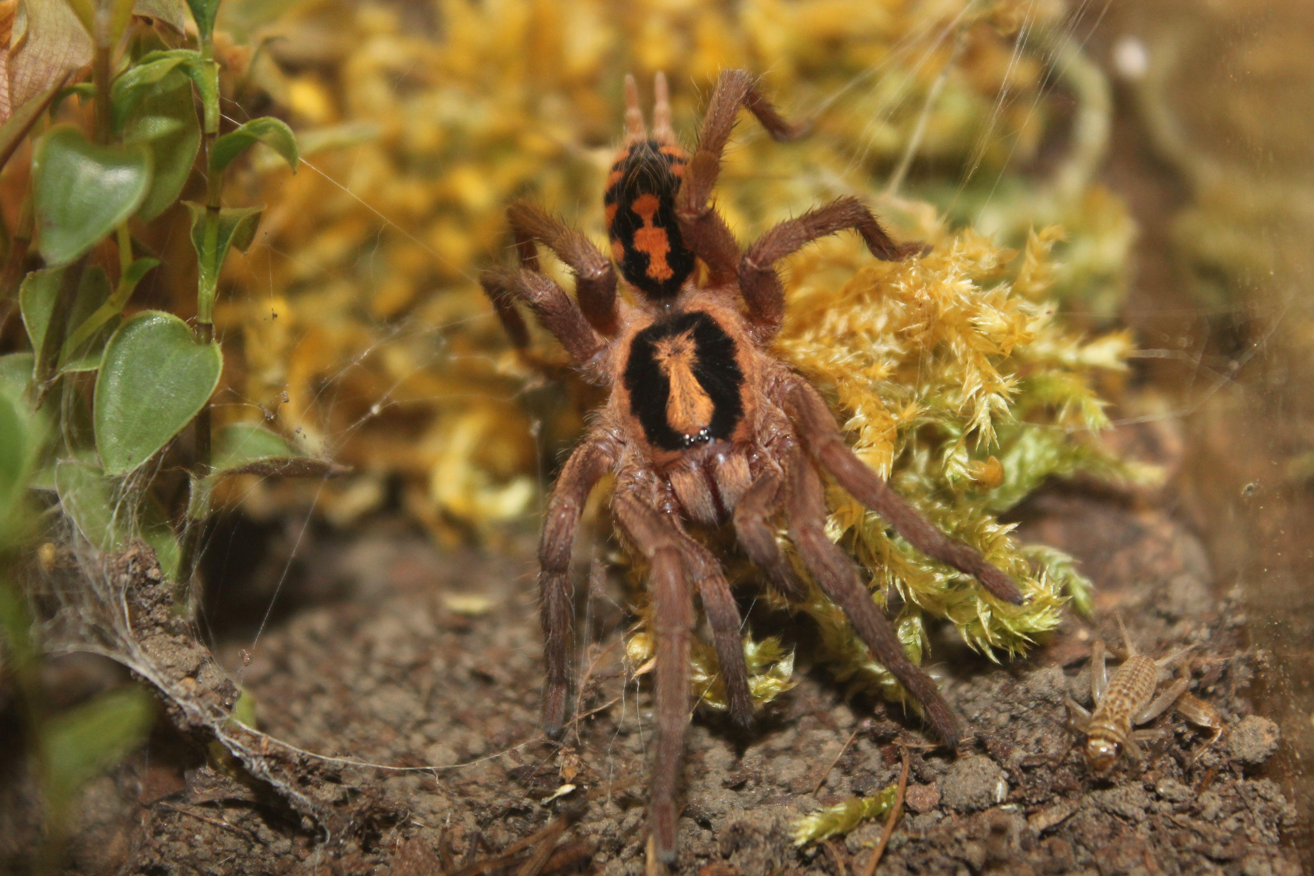 Hapalopus Spec Kolumbien Gross Species Animals Spider
