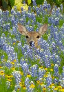 A deer in bluebonnets, Hill Country