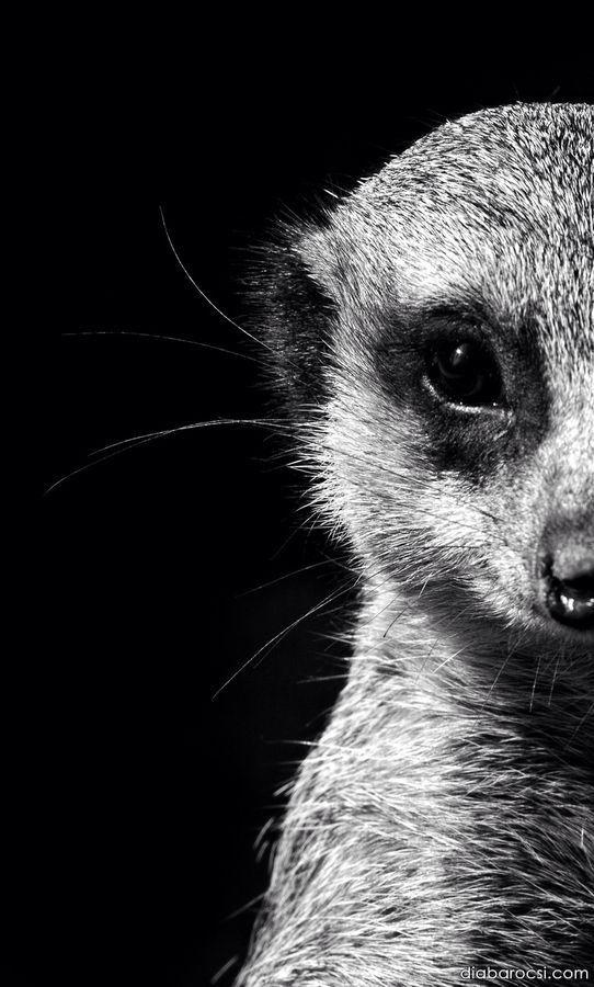 Animal Kingdom Meerkats
