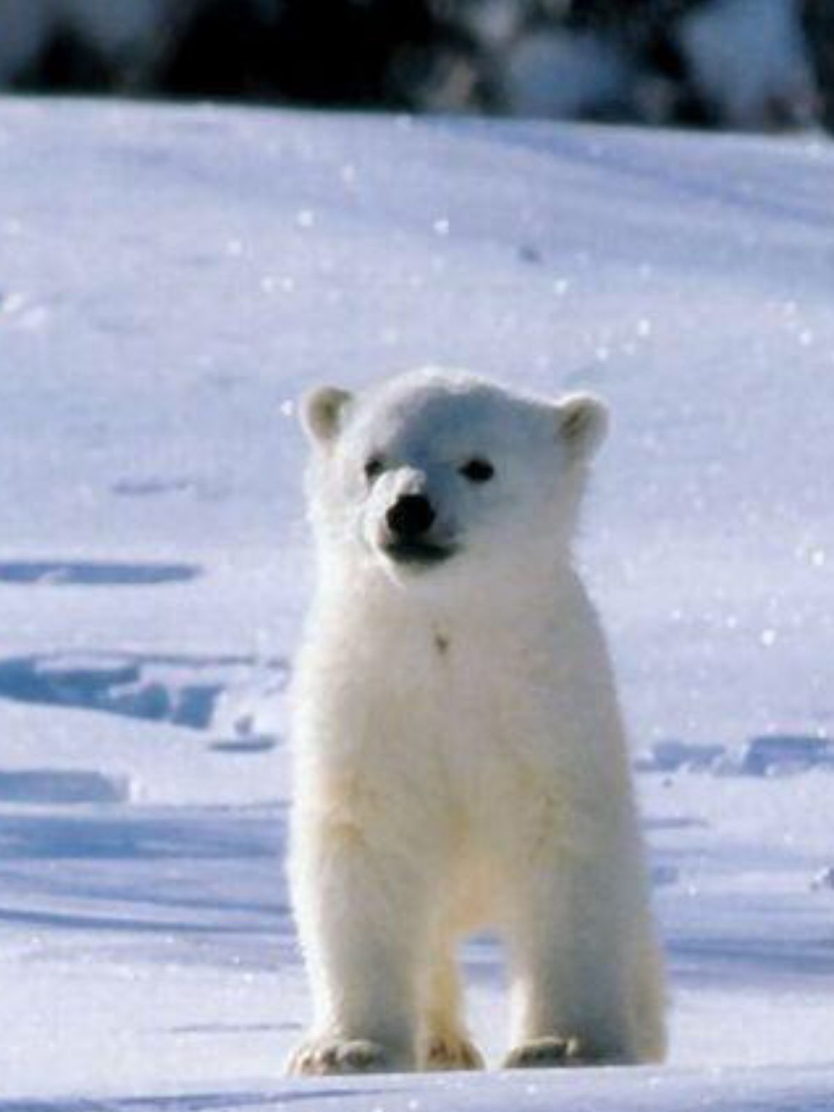 Small Cute Polar Bear In The Glittering Snow