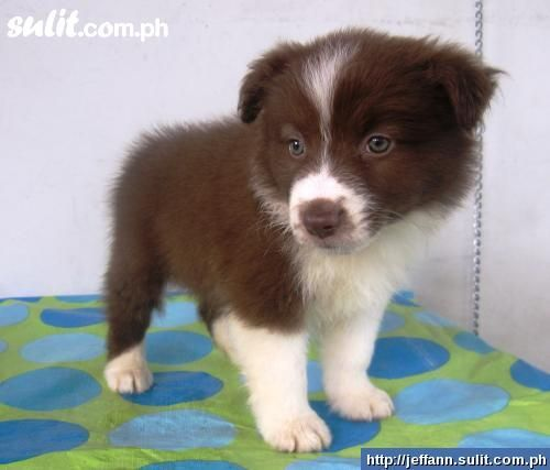 Brown Border Collie Getting One Can T Wait Cute Cats Brown Border Collie Dogs And Puppies