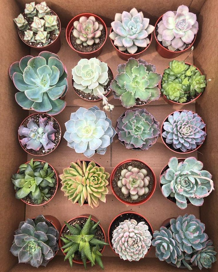 What S The Difference Soft Vs Hard Succulents Succulents Blooming Succulents Succulent Photography