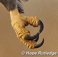 garras de águila