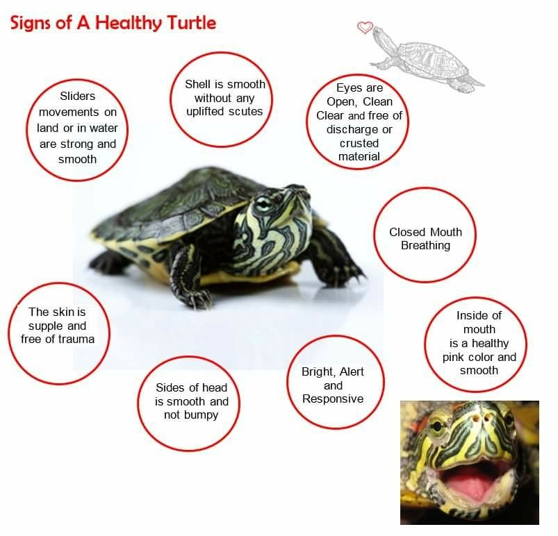 Healthy Aquatic Turtle Schildkroten Lebensraum Schildkrote Haustier Schildkrotenbecken