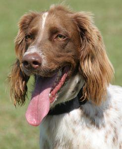 4 Year Old English Setter Mix At Arc In Fort Myers His Name Is Bruno English Setter Dogs Cute Dogs