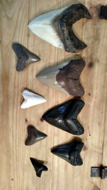 Replica sharks teeth in a variety of size and color