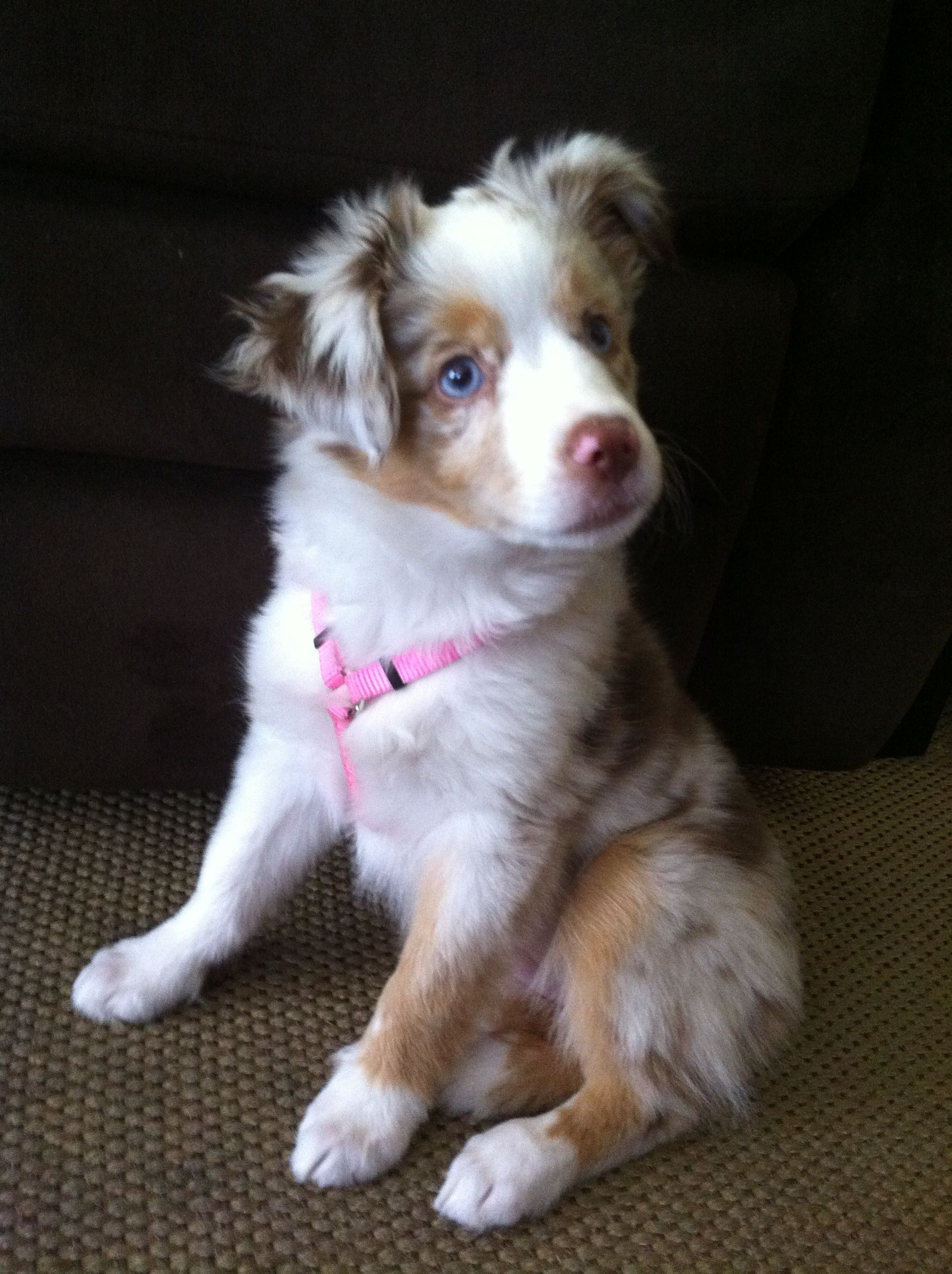 Princess Kailani Mini Australian Shepherd Aussie Puppies Dogs Australian Shepherd