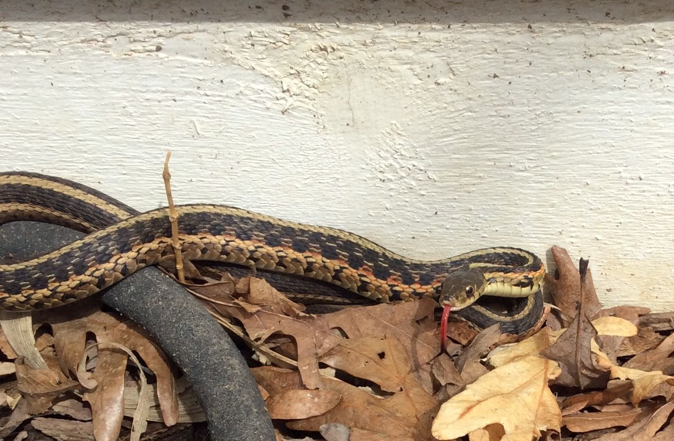how to get rid of garter snakes in my pond