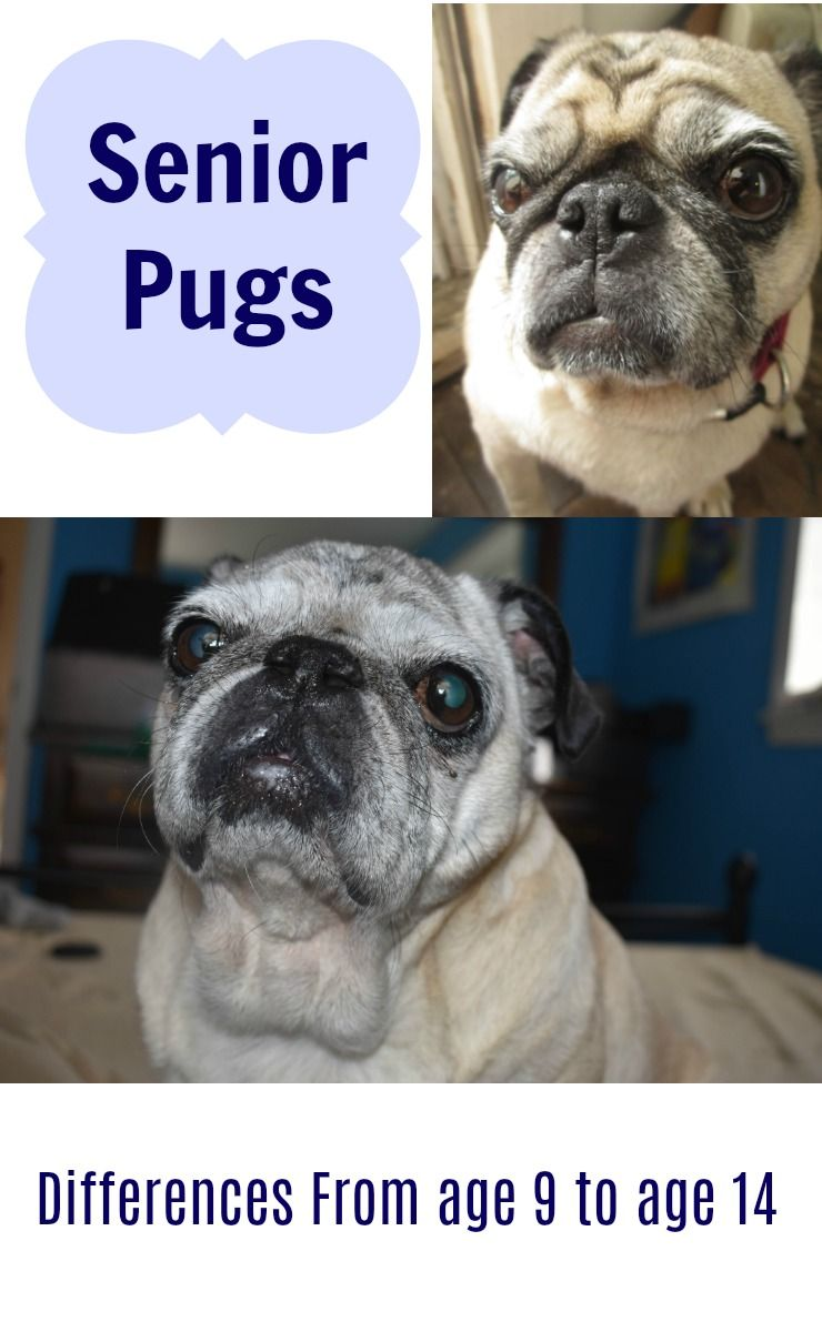 Senior Pugs The Difference Between 9 And 14 Years Pugs Old