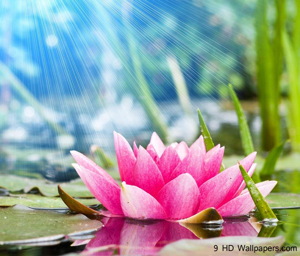 Lotus Flower Wallpapers For Android Natures Wallpapers In 2018