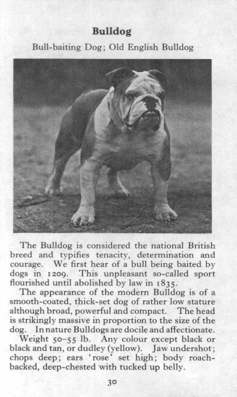 Bulldog 1970 Vintage Dog Print Matted Old English Bulldog
