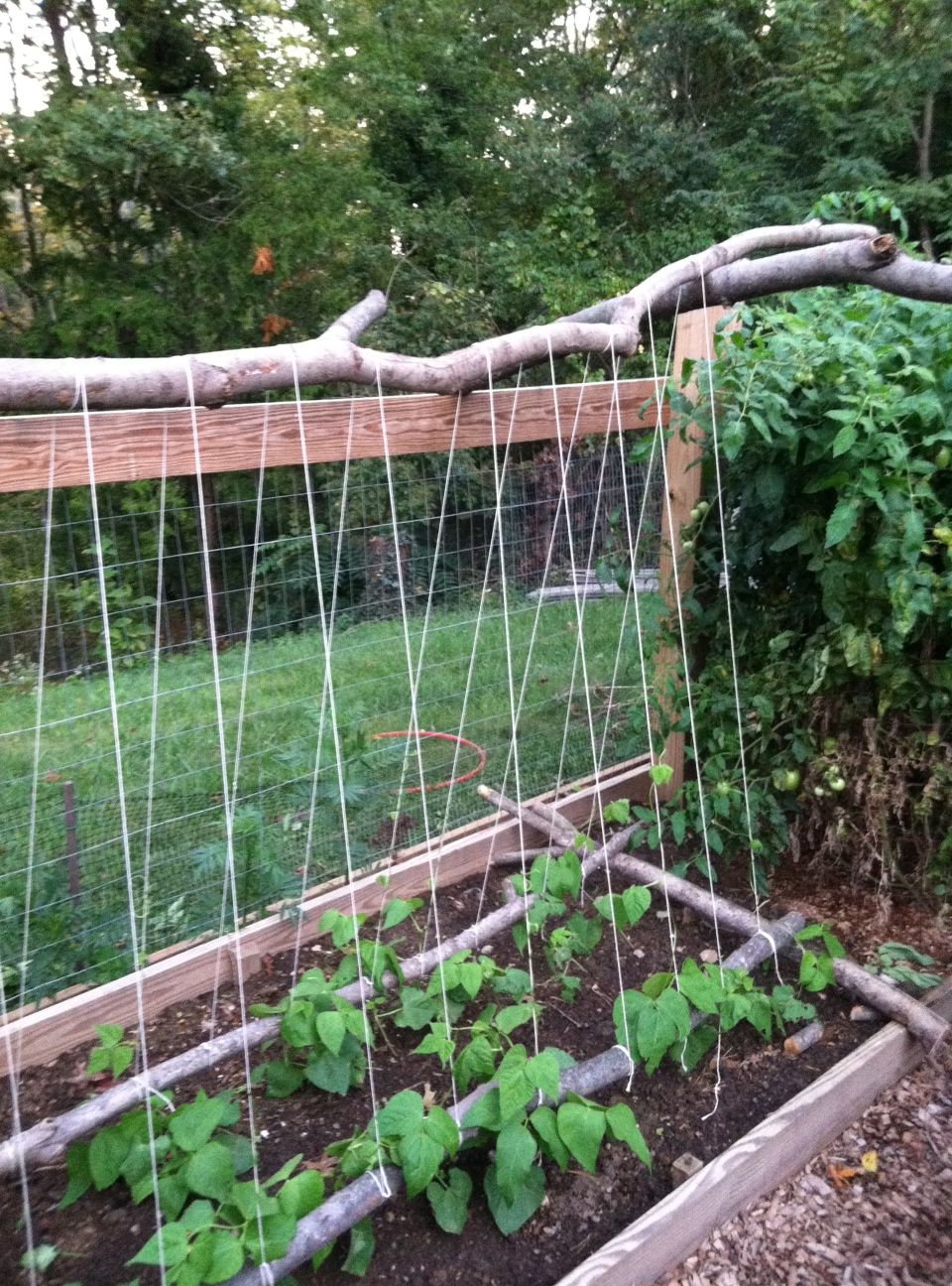 Pole Bean Trellis Ideas Part - 32: Tripod Green Bean Trellis