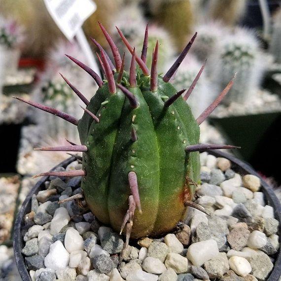 """EUPHORBIA PACHYPODIOIDES rare exotic madagascar succulent cactus cacti 4/"""" plant"""